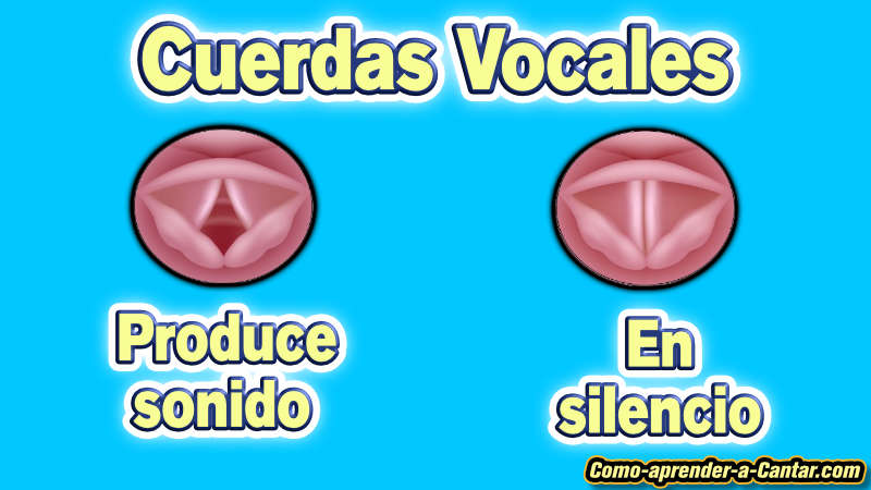 como funciona las cuerdas vocales
