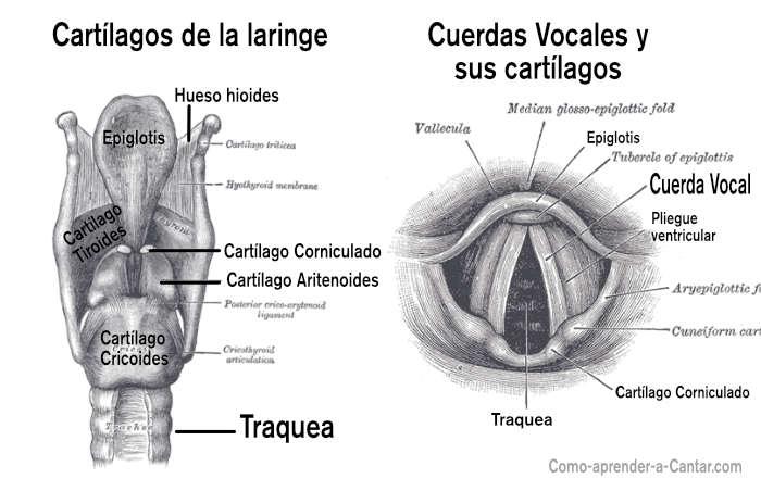 cuerdas vocales cartílagos laringe
