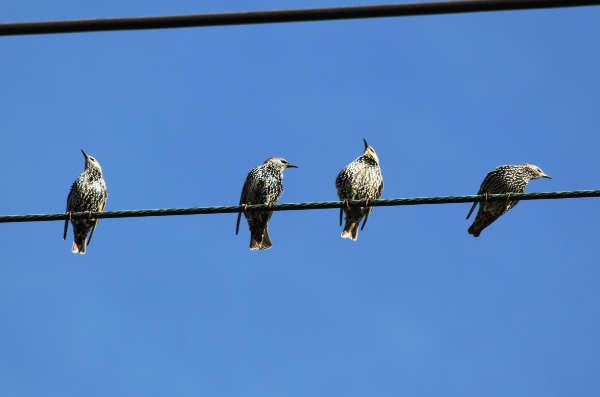 voz de las aves
